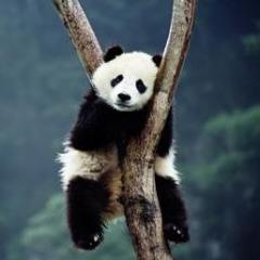 Cheyenne Panda